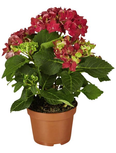 Blühpflanze Hortensie macrophylla, rot