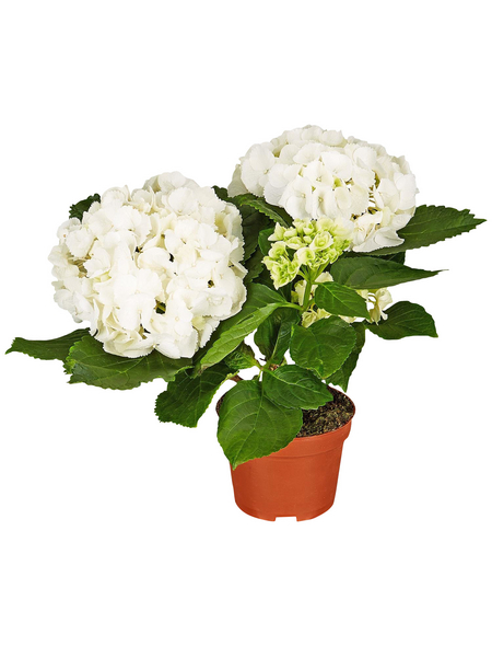 Blühpflanze Hortensie macrophylla, weiß