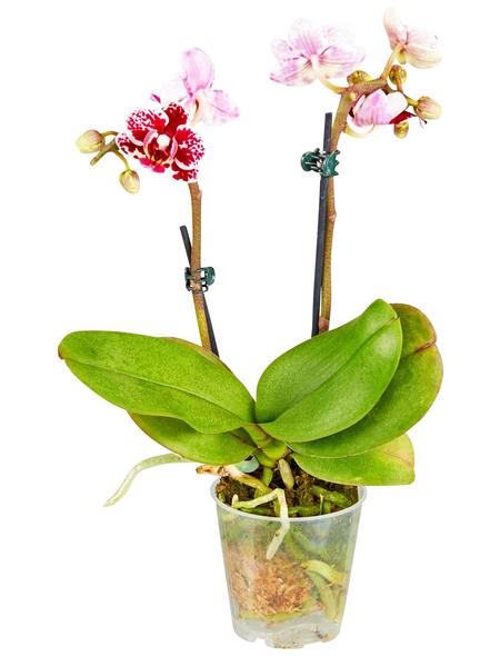 GARTENKRONE Blühpflanze Im Topf