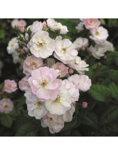 ROSEN TANTAU Blühpflanze »Perennial Blush«, Blüte: weiß
