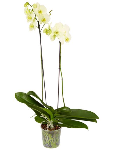 GARTENKRONE Blühpflanze »Schmetterlingsorchidee«,  aktuelle max. Pflanzenhöhe 60 cm , Topf-Ø 15 cm