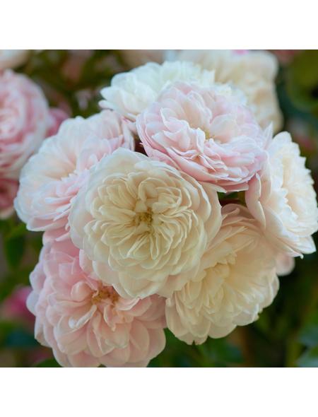ROSEN TANTAU Blühpflanze »Starlet Alina«, Blüte: zweifarbig