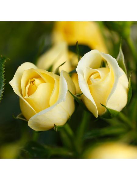 ROSEN TANTAU Blühpflanze »Starlet Elida«, Blüte: gelb