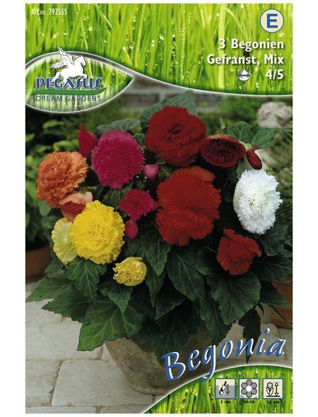 PEGASUS Blumenzwiebel Begonie, Begonia Tuberhybrida, Blütenfarbe: mehrfarbig