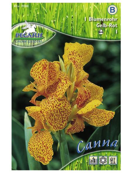 PEGASUS Blumenzwiebel Blumenrohr, Canna indica, Blütenfarbe: mehrfarbig