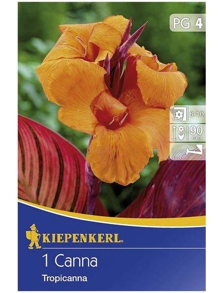 KIEPENKERL Blumenzwiebel Blumenrohr, Canna indica, Blütenfarbe: orange