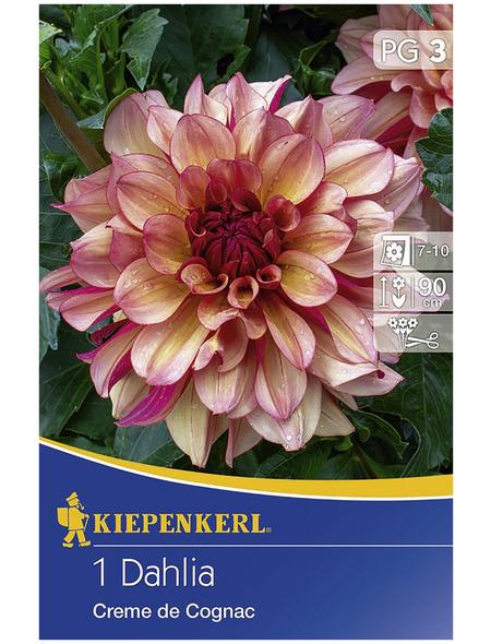 KIEPENKERL Blumenzwiebel Dahlie, Dahlia Hybrida, Blütenfarbe: braun