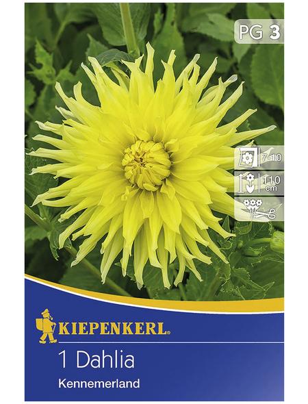 KIEPENKERL Blumenzwiebel Dahlie, Dahlia Hybrida, Blütenfarbe: gelb