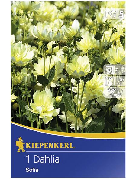 KIEPENKERL Blumenzwiebel Dahlie, Dahlia Hybrida, Blütenfarbe: hellgelb