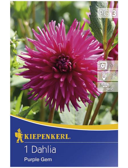 KIEPENKERL Blumenzwiebel Dahlie, Dahlia Hybrida, Blütenfarbe: lila