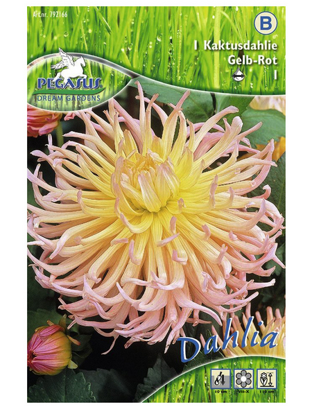 PEGASUS Blumenzwiebel Dahlie, Dahlia Hybrida, Blütenfarbe: mehrfarbig