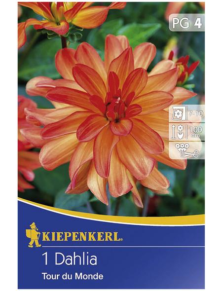 KIEPENKERL Blumenzwiebel Dahlie, Dahlia Hybrida, Blütenfarbe: orange