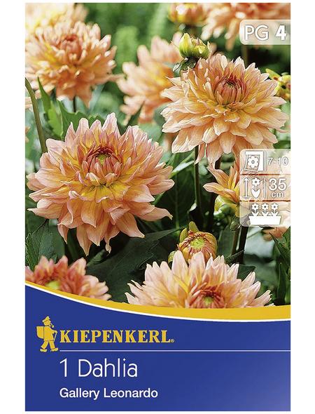 KIEPENKERL Blumenzwiebel Dahlie, Dahlia Hybrida, Blütenfarbe: pfirsichfarben
