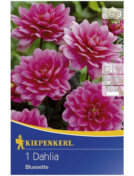 KIEPENKERL Blumenzwiebel Dahlie, Dahlia Hybrida, Blütenfarbe: pink