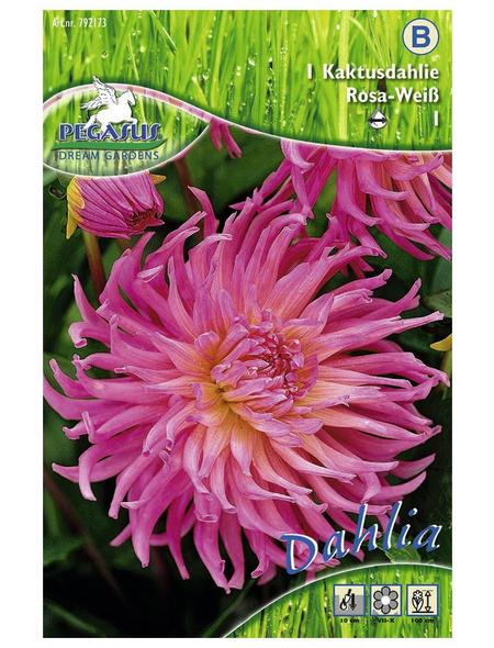PEGASUS Blumenzwiebel Dahlie, Dahlia Hybrida, Blütenfarbe: pink/weiß