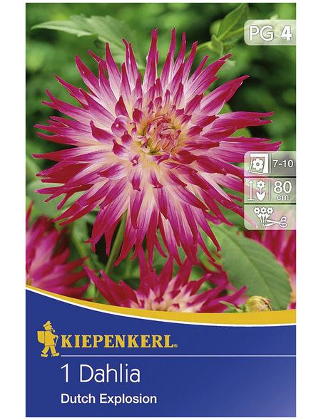 KIEPENKERL Blumenzwiebel Dahlie, Dahlia Hybrida, Blütenfarbe: pink/weiß