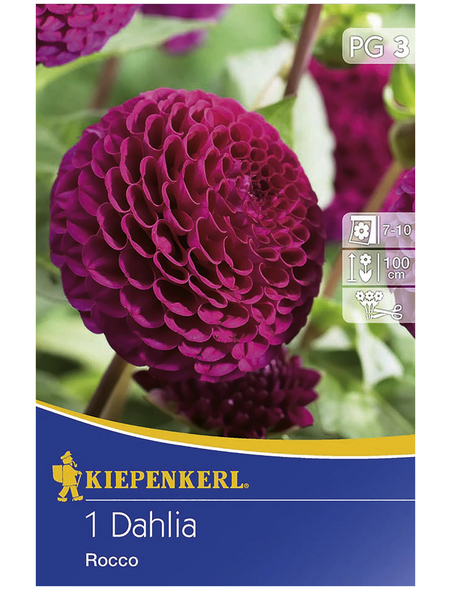 KIEPENKERL Blumenzwiebel Dahlie, Dahlia Hybrida, Blütenfarbe: purpurfarben