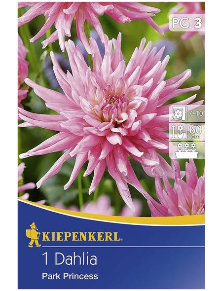 KIEPENKERL Blumenzwiebel Dahlie, Dahlia Hybrida, Blütenfarbe: rosa