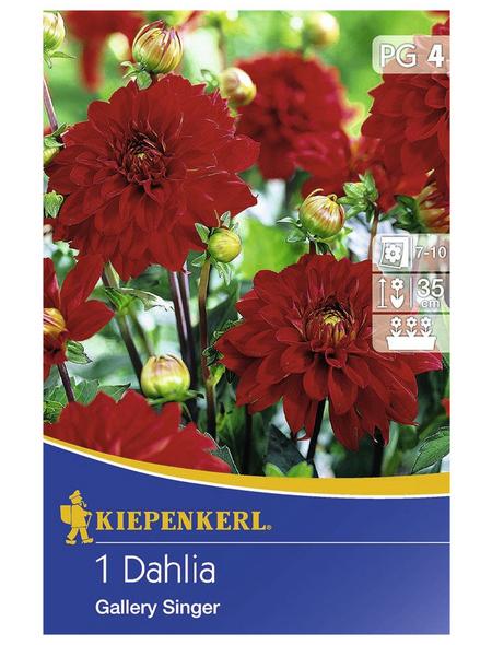 KIEPENKERL Blumenzwiebel Dahlie, Dahlia Hybrida, Blütenfarbe: rot