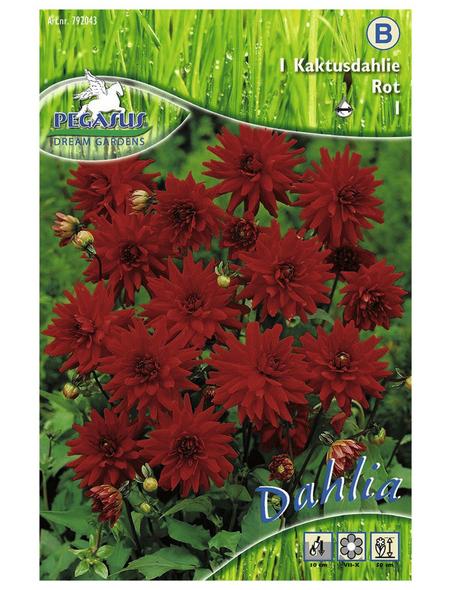 PEGASUS Blumenzwiebel Dahlie, Dahlia Hybrida, Blütenfarbe: rot