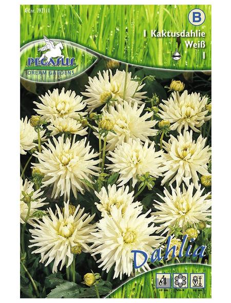 PEGASUS Blumenzwiebel Dahlie, Dahlia Hybrida, Blütenfarbe: weiß