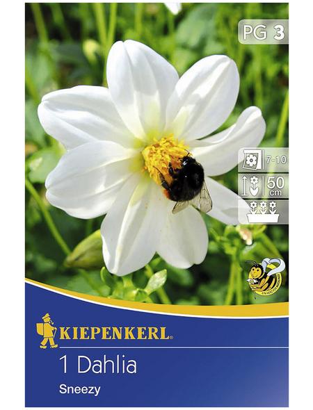 KIEPENKERL Blumenzwiebel Dahlie, Dahlia Hybrida, Blütenfarbe: weiß