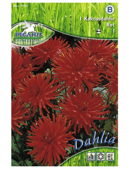 PEGASUS Blumenzwiebel Dahlie, Dahlia X Hybrida, Blütenfarbe: rot