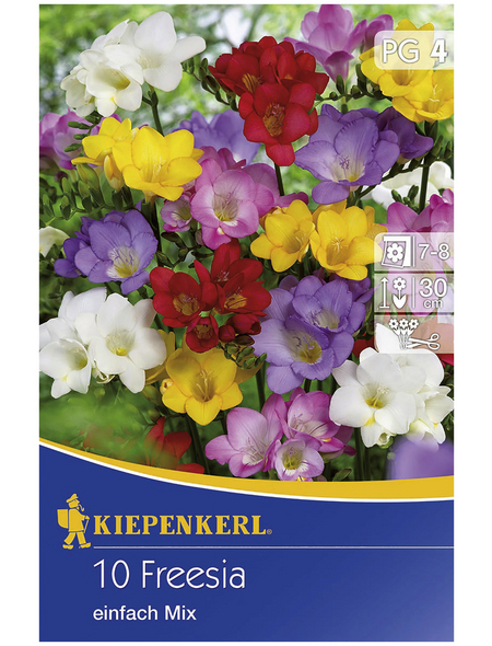 KIEPENKERL Blumenzwiebel Freesie, Freesia Hybrida, Blütenfarbe: mehrfarbig