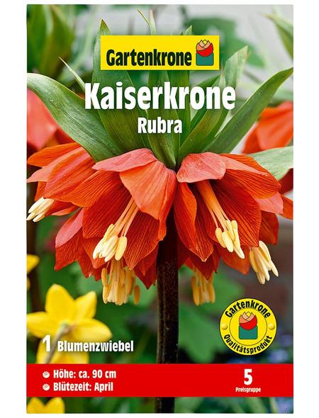 GARTENKRONE Blumenzwiebel »Gartenkrone Kaiserkrone Rubra«