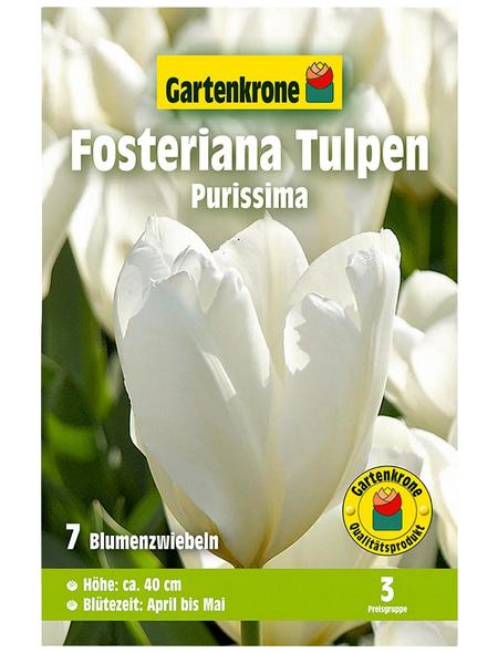 GARTENKRONE Blumenzwiebel »Gartenkrone Tulpe Forsterian Purissima«