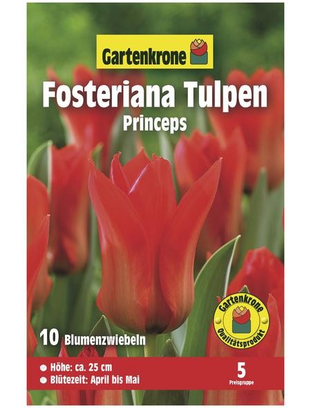 GARTENKRONE Blumenzwiebel »Gartenkrone Tulpe Forsteriana Princeps«