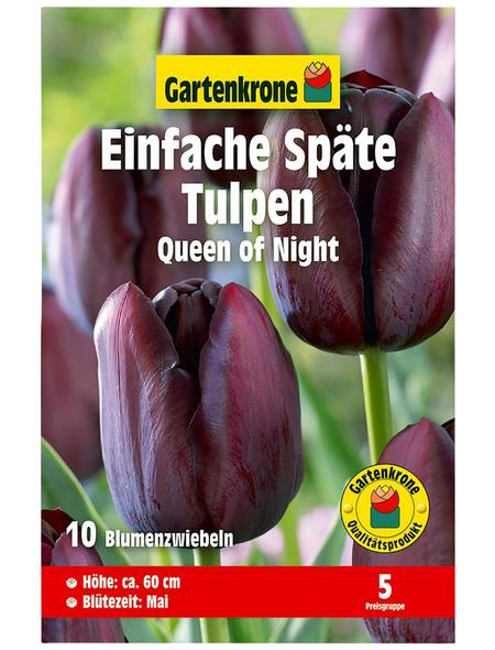 GARTENKRONE Blumenzwiebel »Gartenkrone Tulpe Queen of Night«