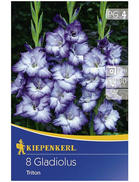 KIEPENKERL Blumenzwiebel Gladiole, Gladiolus Hybrida, Blütenfarbe: blau