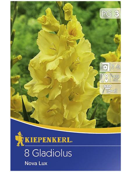 KIEPENKERL Blumenzwiebel Gladiole, Gladiolus Hybrida, Blütenfarbe: gelb