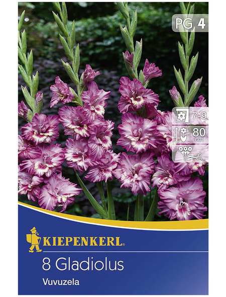 KIEPENKERL Blumenzwiebel Gladiole, Gladiolus Hybrida, Blütenfarbe: lila