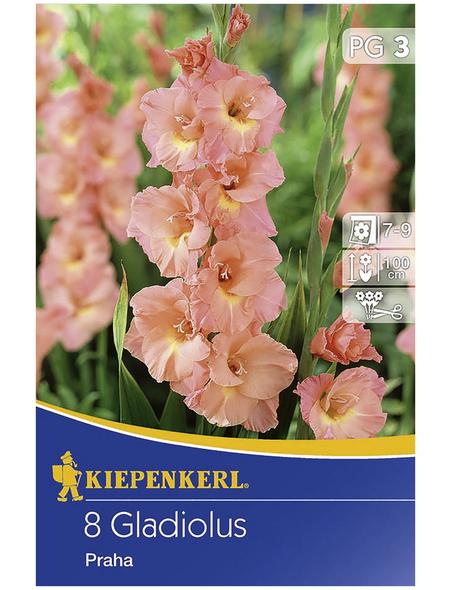 KIEPENKERL Blumenzwiebel Gladiole, Gladiolus Hybrida, Blütenfarbe: pfirsichfarben