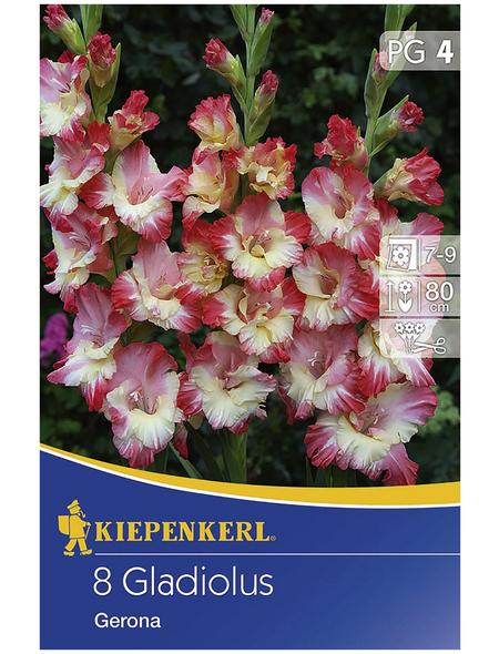 KIEPENKERL Blumenzwiebel Gladiole, Gladiolus Hybrida, Blütenfarbe: pink/weiß