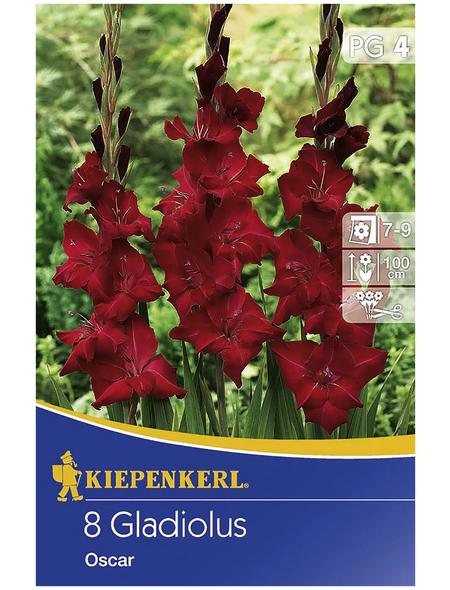 KIEPENKERL Blumenzwiebel Gladiole, Gladiolus Hybrida, Blütenfarbe: rot