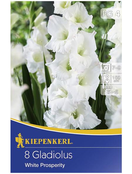 KIEPENKERL Blumenzwiebel Gladiole, Gladiolus Hybrida, Blütenfarbe: weiß