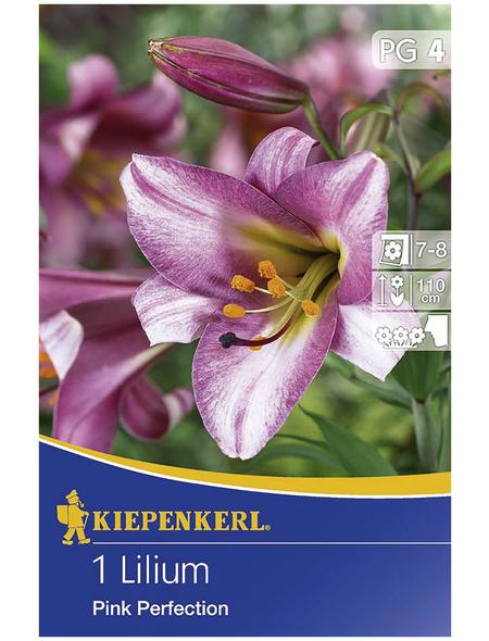 KIEPENKERL Blumenzwiebel Lilie, Lilium Hybrida, Blütenfarbe: lila