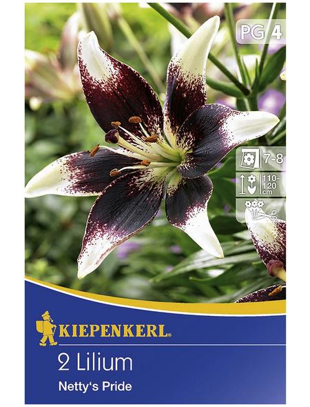 KIEPENKERL Blumenzwiebel Lilie, Lilium Hybrida, Blütenfarbe: mehrfarbig