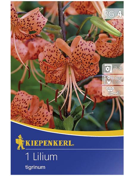 KIEPENKERL Blumenzwiebel Lilie, Lilium Hybrida, Blütenfarbe: orange