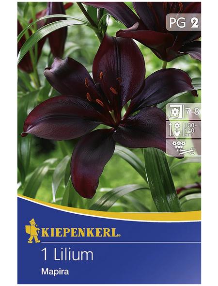 KIEPENKERL Blumenzwiebel Lilie, Lilium Hybrida, Blütenfarbe: purpurfarben