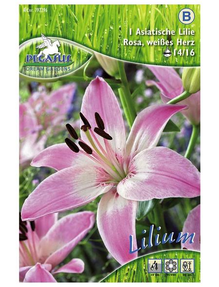 PEGASUS Blumenzwiebel Lilie, Lilium Hybrida, Blütenfarbe: rosa