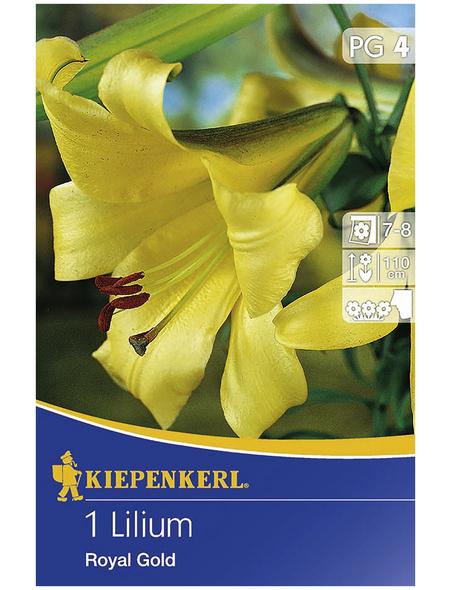 KIEPENKERL Blumenzwiebel Lilie, Lilium regale, Blütenfarbe: gelb