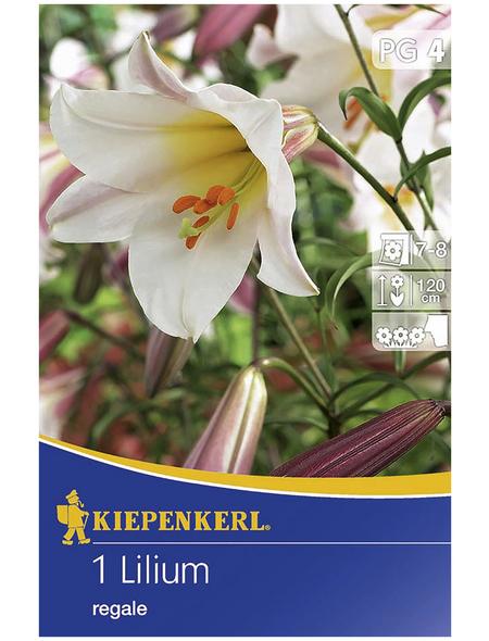 KIEPENKERL Blumenzwiebel Lilie, Lilium regale, Blütenfarbe: rosa