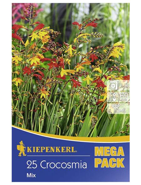 KIEPENKERL Blumenzwiebel Montbretie, Crocosmia crocosmiiflora, Blütenfarbe: mehrfarbig