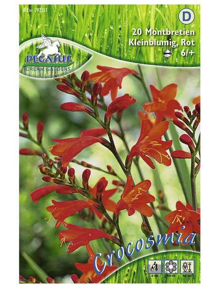 PEGASUS Blumenzwiebel Montbretie, Crocosmia crocosmiiflora, Blütenfarbe: rot