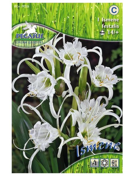 PEGASUS Blumenzwiebel Schönhäutchen, Hymenocallis festalis, Blütenfarbe: weiß