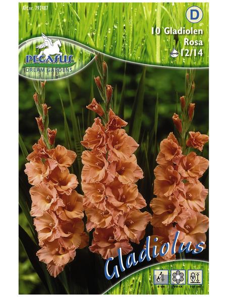 PEGASUS Blumenzwiebel Schwertblume, Gladiolus Hybrida, Blütenfarbe: rosa